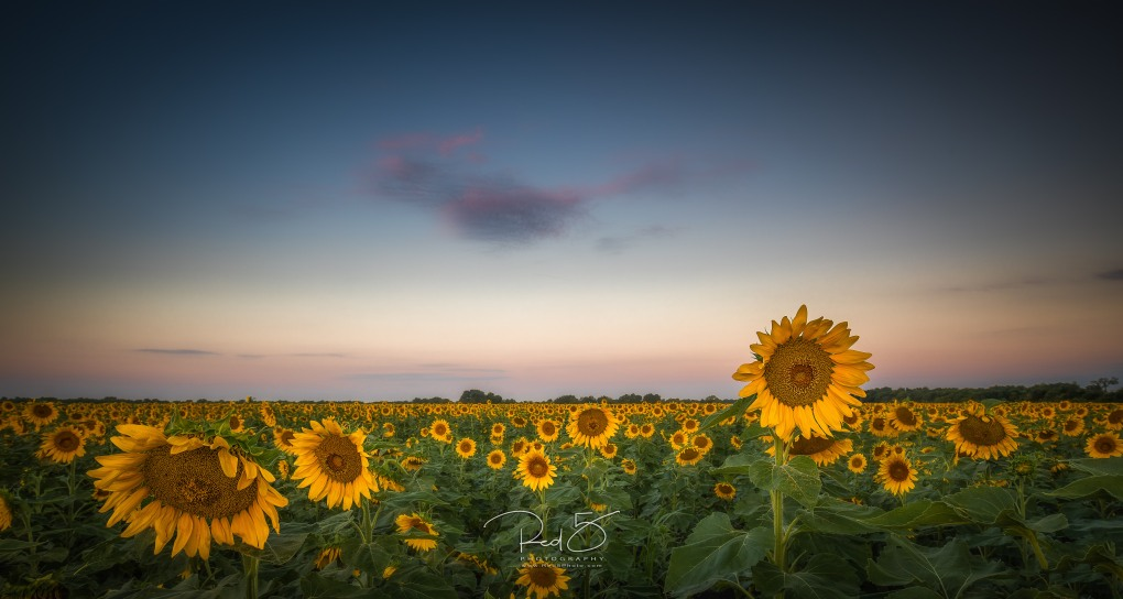 Sunflowers-30-Edit-Edit